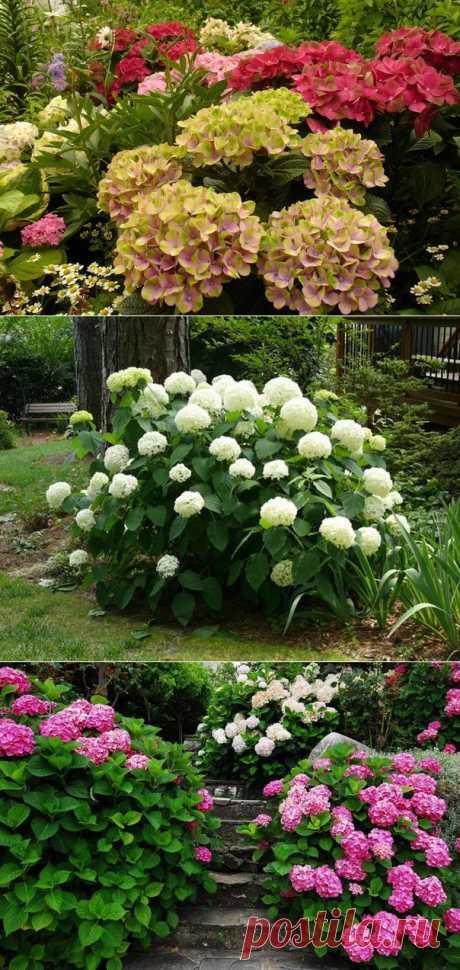 ¡Mi hortensia es plantada correctamente! ¿Y su?))).