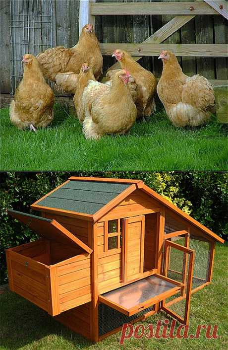 Домашние куры, домашние курицы, куры в домашних условиях,