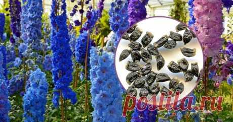Как вырастить дельфиниум из семян в домашних условиях – пошаговая инструкция Живокость (она же в просторечии дельфиниум, или шпорник) включает в себя несколько сотен одно- и многолетних растений, многие из которых очень декоративны – в садовую культуру растение входит с XVII века, радуя разнообразием сортов и окрасов, а также неприхотливостью.