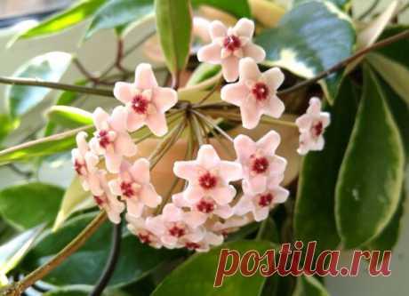 Восковой цветок Хойя - секреты цветения. | Klumba-plus.ru | Яндекс Дзен