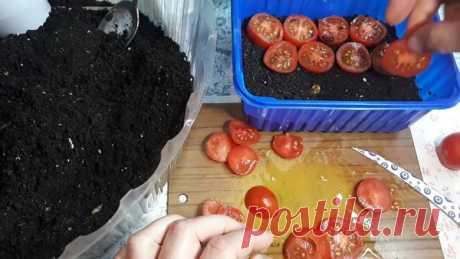 Необычный способ посадки помидоров осенью под зиму.   Любимая Дача   Яндекс Дзен