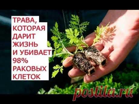La hierba que regala la vida y mata 98 por ciento de las células carcerosas de 3 recetas secretas del tratamiento del cáncer