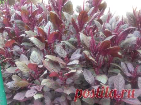 Невысокий сорт, достигающий в высоту всего 50-60 см, отличается насыщенно-бардовыми соцветиями и темно-красной почти бордовой листвой.