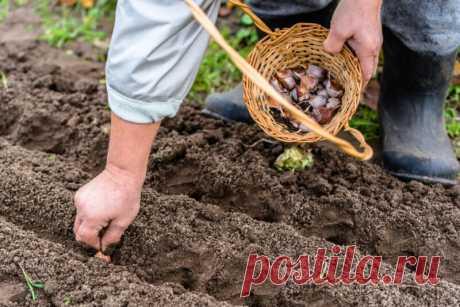 Что положить в лунку с чесноком? 2 ингредиента помогут собрать с грядки завидный урожай   Идеальный огород   Яндекс Дзен