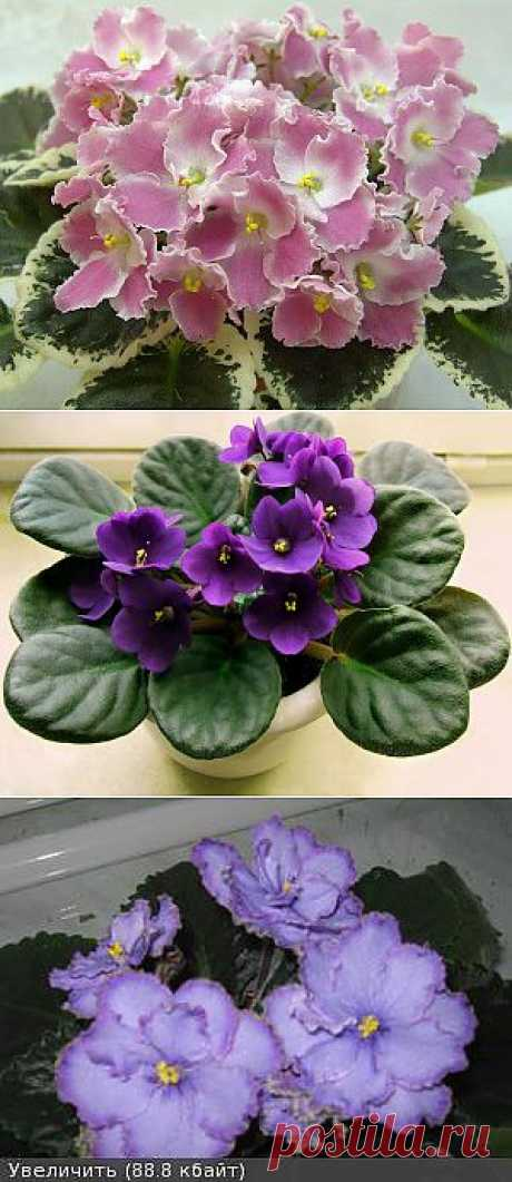 ¿Por qué no florecen la violeta? Las causas.
