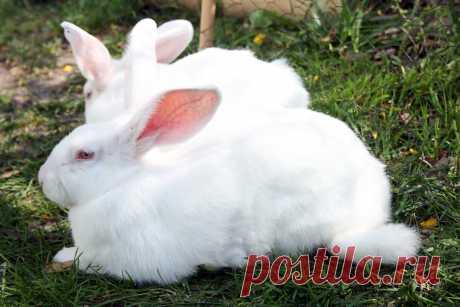 Три самые крупные мясные породы кроликов   Фермерша:)Из города в деревню.   Яндекс Дзен