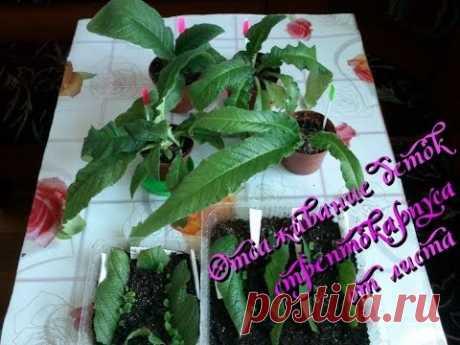 Выращивание стрептокарпуса: отсаживание деток от листа в домашних условиях