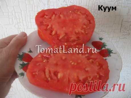 Томат Куум: описание сорта, отзывы, фото, урожайность | tomatland.ru