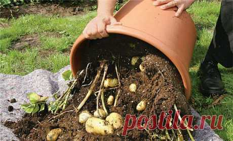 Potatoes in a pot (seedling) for the early use.
