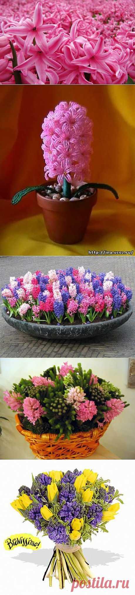 фото цветы гиацинт