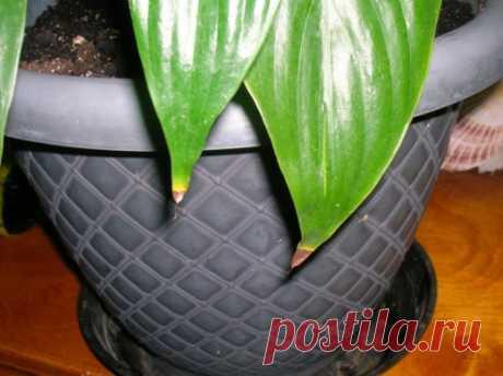 Почему сохнут кончики листьев у комнатных растений?