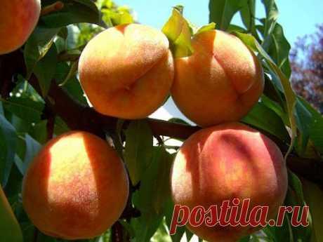 Как обрезать и чем опрыскать персик по Курдюмову | Avgulen