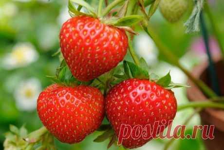Борная кислота сделает ягоды клубники мясистыми, крупными и невероятно сладкими | Дачные записки | Яндекс Дзен