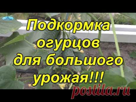Огурцы- подкормка для БОЛЬШОГО урожая!