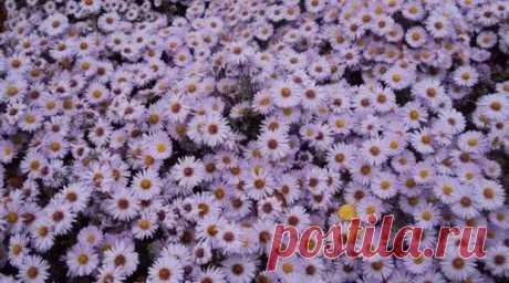 Цветы, которым не страшны осенние заморозки - Цветочки - медиаплатформа МирТесен