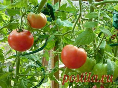 Настой ботвы из помидор и других овощей против вредителей огорода