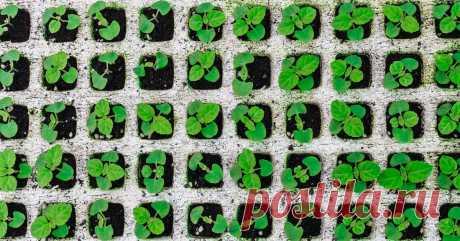 Выращивание рассады сальвии: от посева семян до высадки растений в грунт Мечтаете о ярких и ароматных зарослях декоративного шалфея, но не знаете, как его вырастить? Рассаду сальвии легко подготовить самостоятельно.