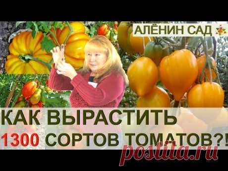ALL SECRETS OF THE COLLECTOR OF 1300 GRADES OF TOMATOES LYUDMILA KODZASOVA. TOMATS CLUB, RIGA, LATVIA