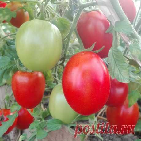 Как ускорить созревание помидоров - prosad.ru всё про сад и огород Есть такая поговорка, что у нас страна вечнозеленых помидор. Томаты родом из Южной Америки и у нас они не успевают дозревать до зрелости и должной красноты.