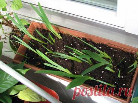 Цветок фрезия: посадка и уход в открытом грунте, фото, выращивание в домашних условиях
