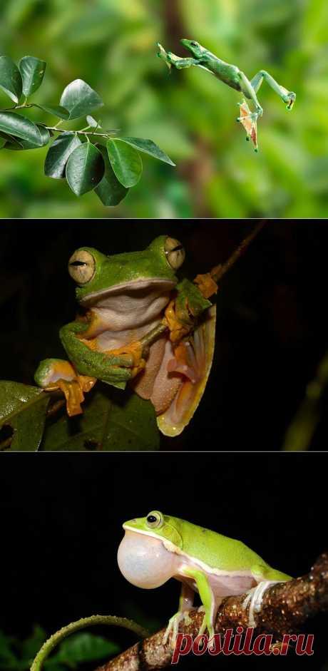 Летающие лягушки | В мире интересного