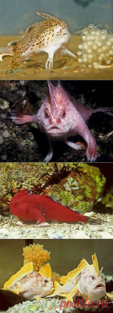 » Ходячие рыбы «хендфиш» Это интересно!