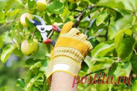Самая эффективная летняя обрезка плодовых деревьев – какая она?