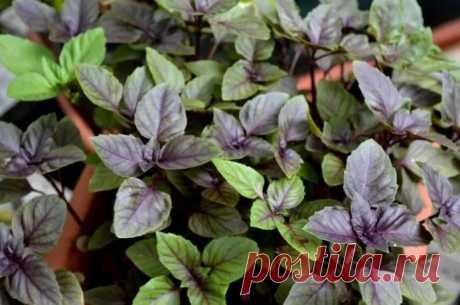 Зеленый и фиолетовый базилик - чем отличаются ? - Домоводство - медиаплатформа МирТесен
