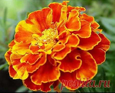 Бархатцы Источник: https://dacha-vprok.ru/kakie-tsvety-seyat-na-rassadu-v-marte-top-10-samyh-populyarnyhКакие цветы сеять на рассаду в марте, топ-10 самых популярных   Дача - впрок