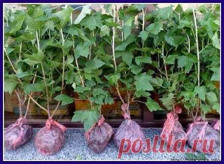 Los plantones de la grosella en 3 meses