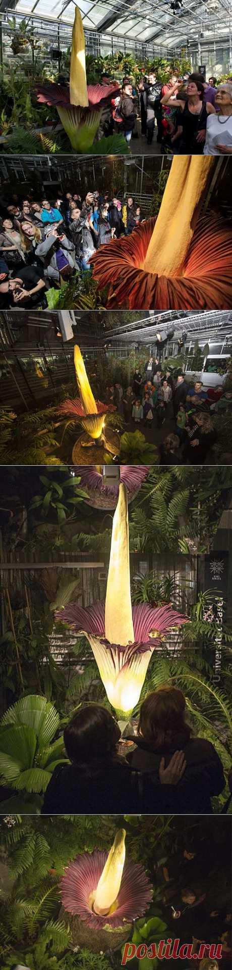 » В Швейцарии распустился самый большой в мире цветок Это интересно!