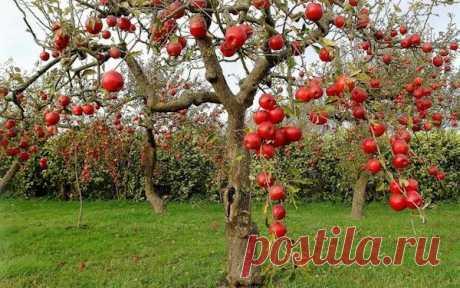 Enderezamos las ramas cerca del manzano y es conseguida la cosecha enorme