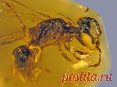 Еще не пчела, уже не оса: в янтаре обнаружили необычное насекомое Исследователи обнаружили очередную уникальную находку в залежах янтаря на территории современной Мьянмы. Самка пчелы, застрявшая около 100 миллионов лет