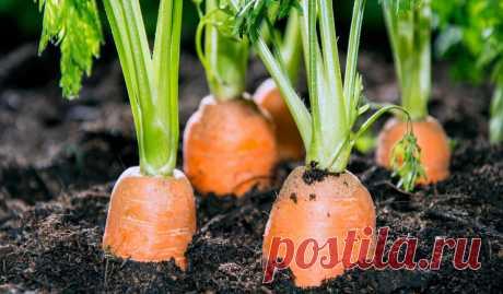 Жалею, что раньше не знала, как подкармливать морковь, чтобы выросла крупной, сочной и сладкой. Рассказываю о подкормках   Записки огородницы   Яндекс Дзен