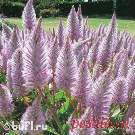 Птилотус семена от bufl.ru