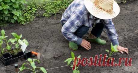 Высадка рассады в грунт – о чем должен знать каждый Высаженная на постоянное место рассада плохо приживается и долго болеет? Иногда так происходит из-за неправильной высадки растений в грунт.
