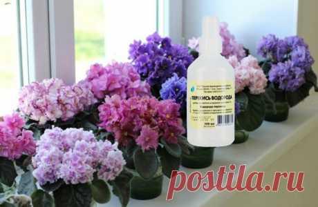 Перекись водорода — настоящая находка для цветов в зимний период. Как применять и какого результата ожидать   Дачный труженик   Яндекс Дзен