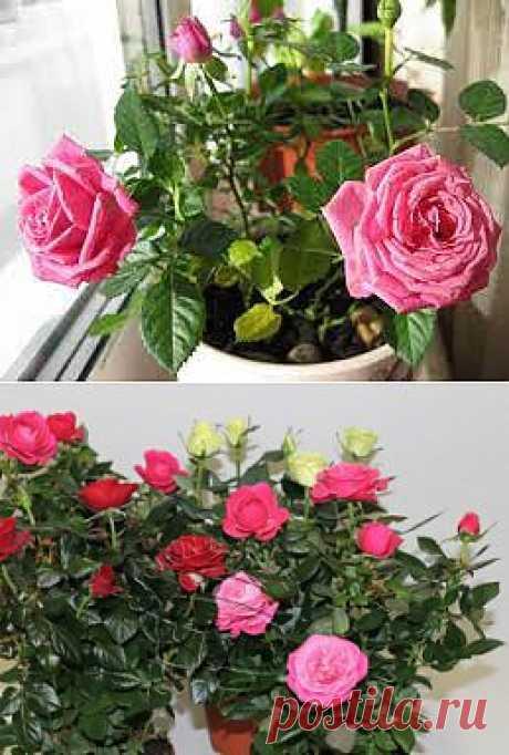 Секреты выращивания комнатной розы  
