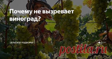 Почему не вызревает виноград? Часто бывает, что по срокам вегетации виноград должен созреть, а его вкусовые качества далеки от сортового стандарта, не набрали сахаристости, кислят. В чем причина такого явления и можно ли этого избежать?Давайте попробуем разобраться. как всегда кратко и информативно. Прежде всего не перегружайте кусты винограда. Чем меньше нагрузку на куст мы даем, тем крупнее и слаще будут ягоды. Но все хотят
