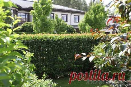 Живая изгородь из боярышника – оригинальное зонирование дачного участка
