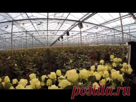Van der Arend Roses