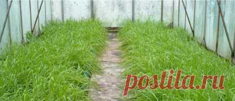 Повышаем плодородие почвы в теплице, делюсь рабочим секретом, чтоб быть всегда с урожаем | Садоводство с Элен | Яндекс Дзен
