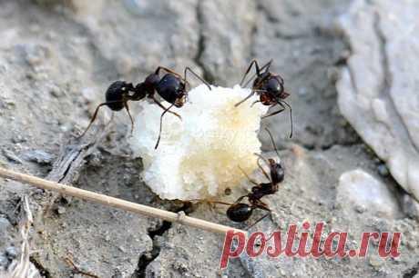 Как избавиться от муравьев при помощи манки Манка от муравьев: экологичный и безопасный метод избавиться от вредителей. Как использовать манную крупу от муравьев, что делать если муравьи не едят