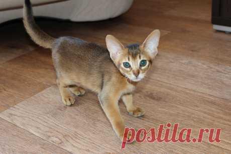 Абиссинская кошечка дикого окраса