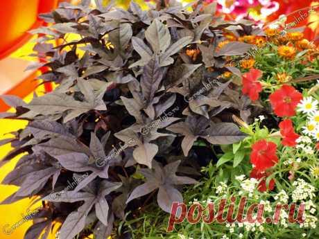 Ипомея батат - декоративный овощ для контейнеров и клумб