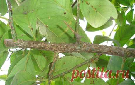 Простейший метод лечения лимона от щитовки!!! Diaspididae treatment. Старый но проверенный метод лечения от щитовки дерева лимона!!!