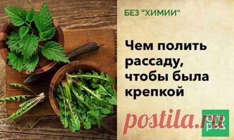"""Без """"химии"""": чем полить рассаду, чтобы была крепкой   Рассада (Огород.ru)"""