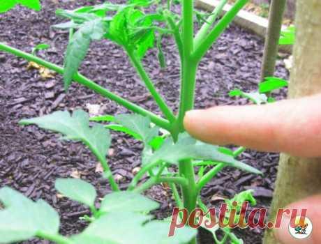 Рассказываю, какой пасынок на томатах НЕЛЬЗЯ удалять, чтобы не остаться БЕЗ УРОЖАЯ | 6 соток