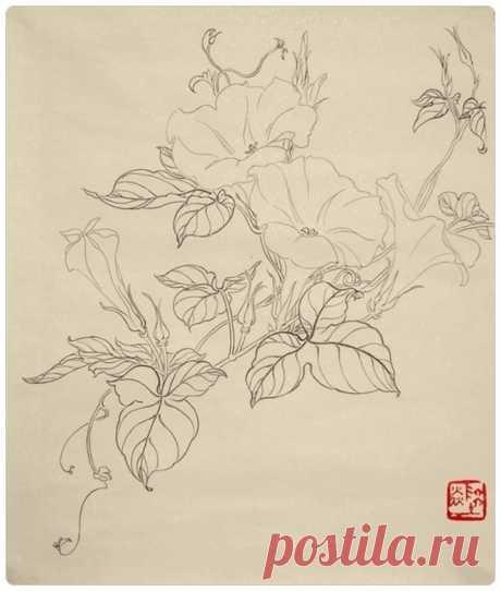 Цветок Вьюнка. Контурный рисунок