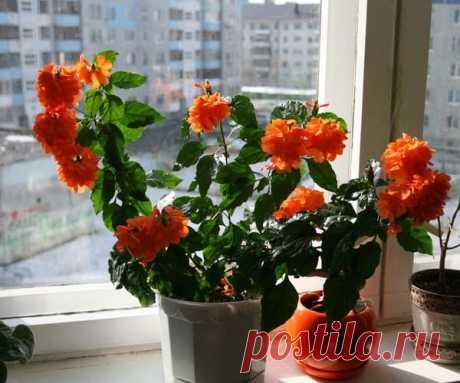 Цветок «Кроссандра»: описание, уход в домашних условиях